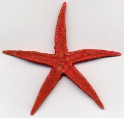 ALP116starfish-natural-rlagered