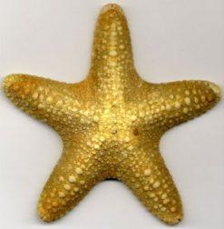 APL117large-starfish-beigelarge